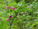 salmonBerry_blossoms1.jpg